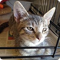 Adopt A Pet :: Maya - Island Park, NY