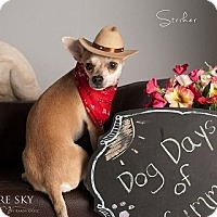 Adopt A Pet :: Striker - Mesa, AZ