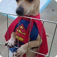 Chihuahua Dog for adoption in Menifee, California - Peanut (courtesy listing)