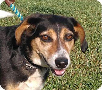 Hanna Girl | Adopted Dog | TIA | Allentown, PA | Beagle ...