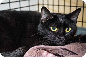 Domestic Shorthair Cat for adoption in Acushnet, Massachusetts - Amber & Onyx
