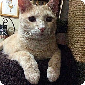 Domestic Shorthair Cat for adoption in New York, New York - Varick