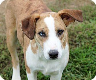 Australian Shepherd Mix Dog for adoption in Liberty Center, Ohio - Chilli