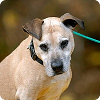American Staffordshire Terrier Mix Dog for adoption in Pottsville, Pennsylvania - Taco