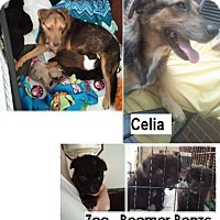 Shepherd (Unknown Type) Mix Puppy for adoption in Danbury, Connecticut - Zoe