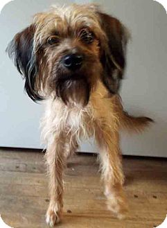 Wirehaired Fox Terrier Mix Dog for adoption in Hinsdale, Illinois - Watson