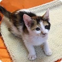 Calico Kitten for adoption in Butner, North Carolina - Spicy
