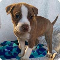Adopt A Pet :: Cooper (MD-Kelly) - Newark, DE
