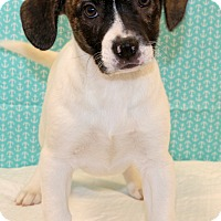 Adopt A Pet :: Auggie~adopted! - Glastonbury, CT