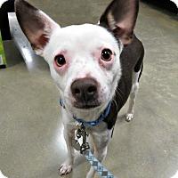 Adopt A Pet :: Cheech - McKinney, TX