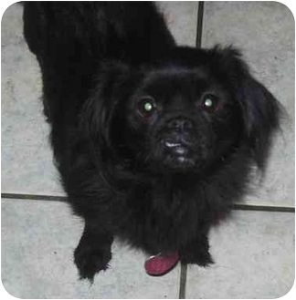 pekingese and pomeranian chevelle adopted dog coudersport pa pekingese 6643