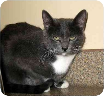 Domestic Shorthair Cat for adoption in Fremont, Michigan - Missy