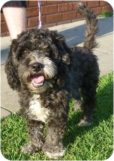 Portuguese Water Dog Cross Breeds