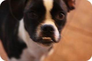 Boston Terrier Mix Dog for adoption in Russellville, Kentucky - Sophie