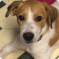 Adopt A Pet :: Lexi Lovebug - Wytheville, VA