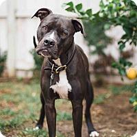 Adopt A Pet :: Django - Santa Monica, CA