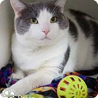 Adopt A Pet :: Drake - Merrifield, VA