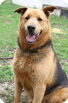 East Randolph, VT - Airedale Terrier/Shepherd (Unknown ...