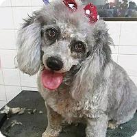 Adopt A Pet :: Chiquita - Las Vegas, NV