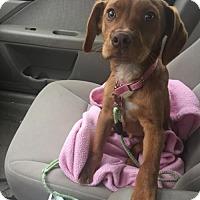 Adopt A Pet :: Frodo - Grafton, WI