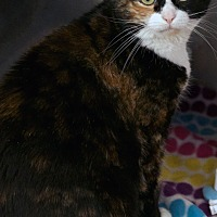 Calico Cat for adoption in St Louis, Missouri - Vivian