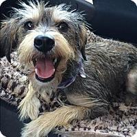 Adopt A Pet :: Imelda - Encino, CA