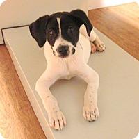 Adopt A Pet :: Izzy - Charlemont, MA