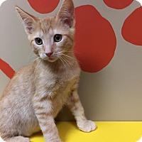 Domestic Shorthair Kitten for adoption in Maryville, Missouri - Otis