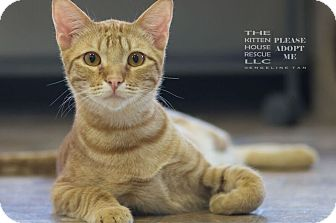 Domestic Shorthair Cat for adoption in Houston, Texas - RAYNE
