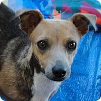 Dachshund/Basenji Mix Dog for adoption in Buena Park, California - Janelle