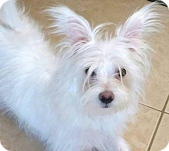 Yorkie, Yorkshire Terrier/Maltese Mix Puppy for adoption in Phoenix, Arizona - Gulliver
