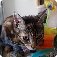 Domestic Mediumhair Kitten for adoption in Yucaipa, California - Firestorm