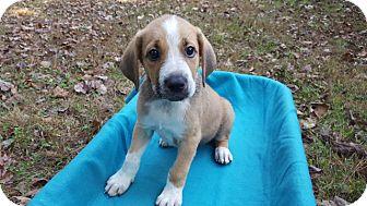 Hound (Unknown Type) Mix Puppy for adoption in Alexandria, Virginia - JMU Duke