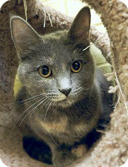 Domestic Shorthair Cat for adoption in Edwards AFB, California - Bonnie