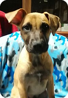 Boxer/Mountain Cur Mix Puppy for adoption in Southington, Connecticut - Topper