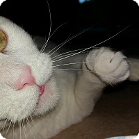 Domestic Shorthair Cat for adoption in Voorhees, New Jersey - Bean-PetSmart