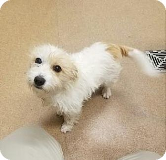 Terrier (Unknown Type, Medium)/Terrier (Unknown Type, Medium) Mix Dog for adoption in Apple Valley, California - Pebbles #162354