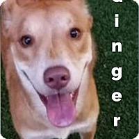 Adopt A Pet :: Ginger - Dallas, TX