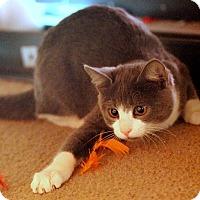 Adopt A Pet :: Gray - St. Louis, MO