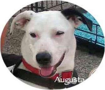 Dalmatian Mix Puppy for adoption in Mandeville Canyon, California - Augusta