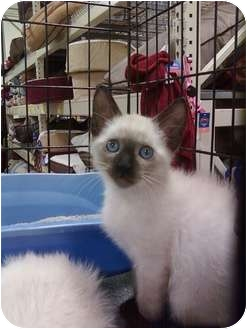 Siamese Kitten for adoption in Fort Lauderdale, Florida - Baby Sherman