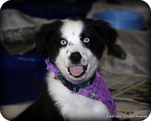 Australian Shepherd/Labrador Retriever Mix Puppy for adoption in Marlton, New Jersey - Haley