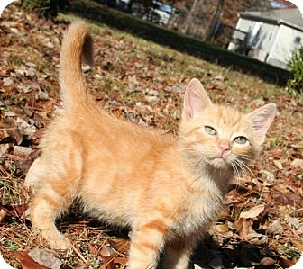 American Shorthair Kitten for adoption in Foster, Rhode Island - Stimpy
