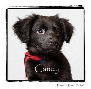Pomeranian Mix Puppy for adoption in Warren, Pennsylvania - Candy