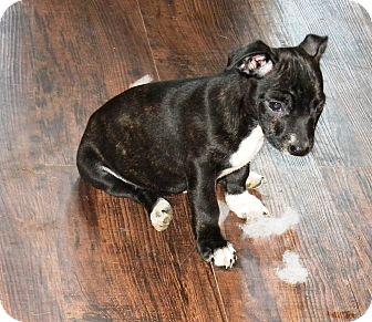 Chihuahua/Dachshund Mix Puppy for adoption in Vidor, Texas - Rio