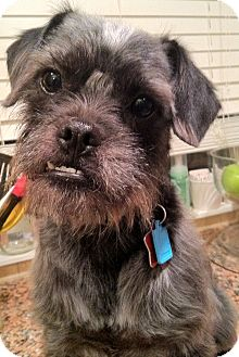 Brussels Griffon/Schnauzer (Miniature) Mix Dog for adoption in Troy, Michigan - Edwin