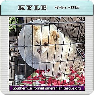 Pomeranian Dog for adoption in Studio City, California - Kyle