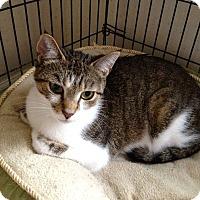 Adopt A Pet :: Miss Kitty - Colmar, PA
