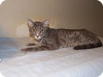 Domestic Shorthair Cat for adoption in Benton, Pennsylvania - Luna