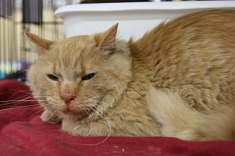 Domestic Mediumhair Cat for adoption in Rochester, Minnesota - Freemont